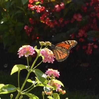 monarch donation