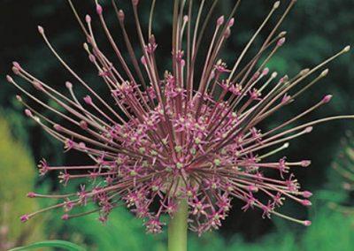 Allium Schuberti - 50