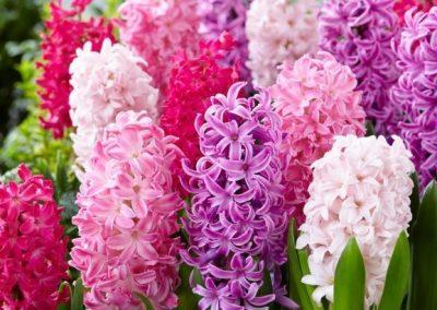 Hyacinth Mix - 300
