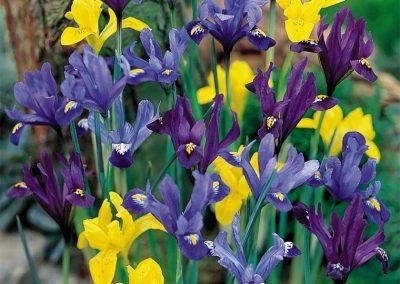 Iris Rock Garden Mix - 500