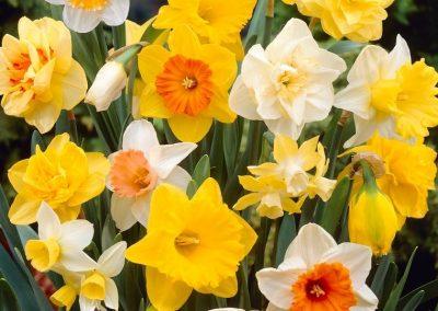 Narcissus Grand Mix - 1000