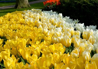 Tulip Vanilla Collection - Mix of White and Yellow Emperor and Sweetheart - 2000